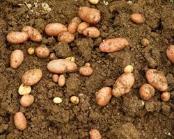 Saco de Batatas BIO, 20kg