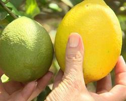 Limão variedade Sicilia