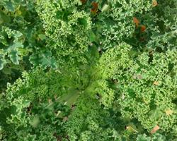 Couve Crespa [Kale]