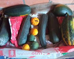 cabaçinhas amarelas ou cor verde bem criadas, e courgettes longas produto fresco e natural