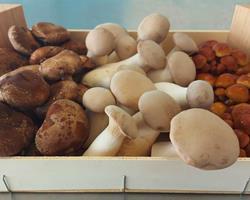 Cabaz MIX Gourmet - Cogumelos Biológicos Frescos