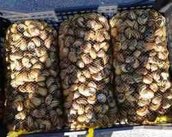 Caracóis - caracoleta Helix Aspersa - 1ª categoria
