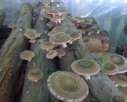 Cogumelos Shiitake Biológicos
