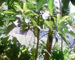 Abacateiros - planta