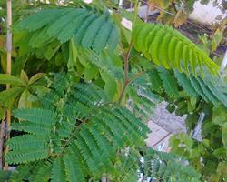 Jacarandá - árvore