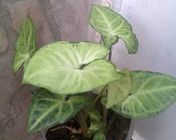 Singônio ou planta cabeça-de-flecha