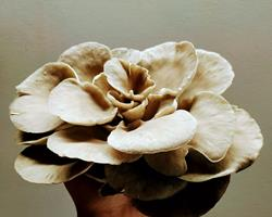 Pleurotus Ostreatus cinza (cogumelos ostra)