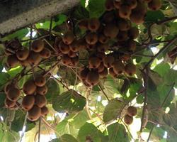 Kiwis doces, sem pesticidas, totalmente naturais