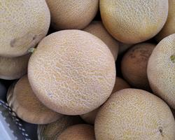 Meloa gália