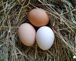 Ovos de galinha de campo