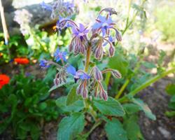 Flores frescas de Borragem