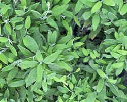Salva / Salvia officinalis
