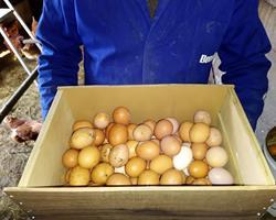 Ovos Caseiros - Galinhas Criadas ao Ar Livre