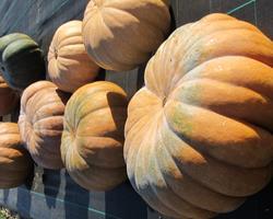 Abóbora Moscade de Provence