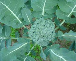 Brócolos BIO