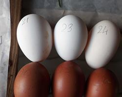 Ovos Galinhas de Raça Estrangeira