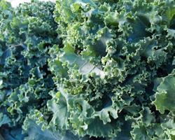 Couve Kale Biológica