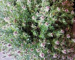 Planta Aromática/Medicinal Tomilho Limão
