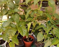 Planta piripiris