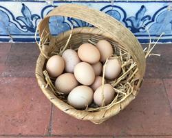 Ovos Biológicos de Galinha Pedrês criadas ao ar livre (pica no chão) com Certificação da AMIBA