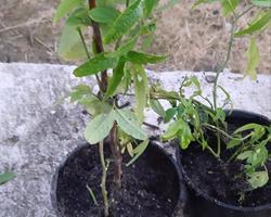 Planta Maracujá Banana