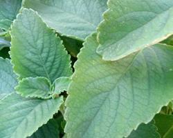 Boldo para plantar ou em folhas para chá