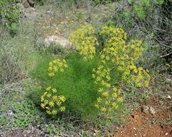 funcho (Foeniculum vulgare)