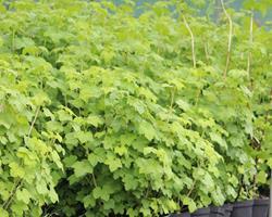 Groselha vermelha (Ribes rubrum)