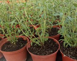 Hissopo  (Hyssopus officinalis)