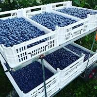 MaioVerde - Frutos Vermelhos